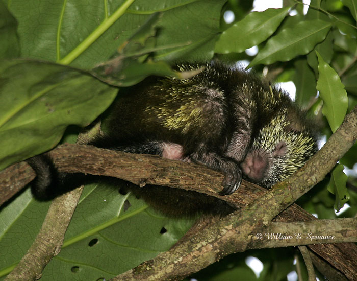 Mexican Porcupine sleeping in a tree
