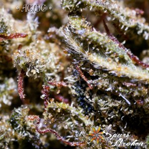 ACDC - Cannabis Macro Photography by Spurs Broken (Robert R. Sanders)