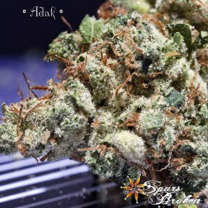 Adak - Cannabis Macro Photography by Spurs Broken (Robert R. Sanders)