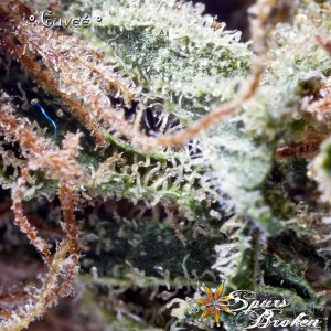 Cuvee - Cannabis Macro Photography by Spurs Broken (Robert R. Sanders)