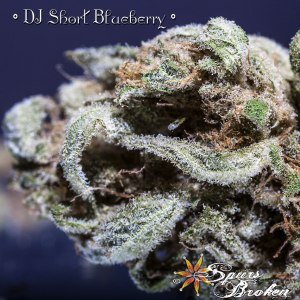DJ Short's Blueberry - Cannabis Macro Photography by Spurs Broken (Robert R. Sanders)