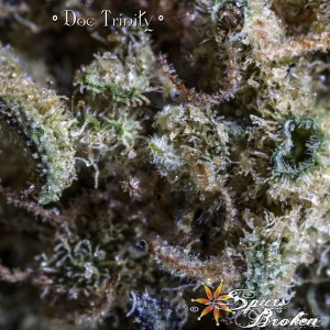 Doc Trinity - Cannabis Macro Photography by Spurs Broken (Robert R. Sanders)