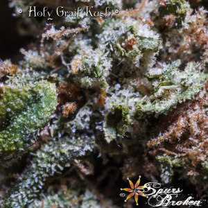 Holy Grail Kush -Cannabis Macro Photography by Spurs Broken (Robert R. Sanders)