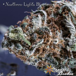 Northern Lights Blueberry- Cannabis Macro Photography by Spurs Broken (Robert R. Sanders)