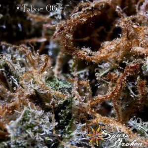 Tahoe OG - Cannabis Macro Photography by Spurs Broken (Robert R. Sanders