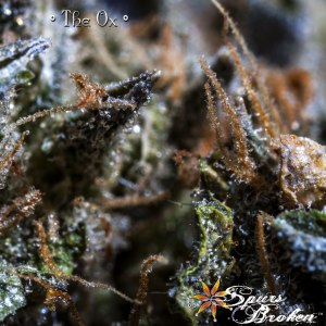 The Ox - Cannabis Macro Photography by Spurs Broken (Robert R. Sanders