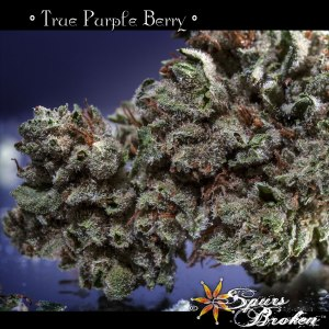 True Purple Berry - Cannabis Macro Photography by Spurs Broken (Robert R. Sanders)