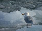 Glaucous Gull on ice © Wikipedia/Wikicommons