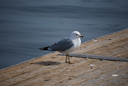 Ring-billed Gull photo © Steven P. Wickstrom