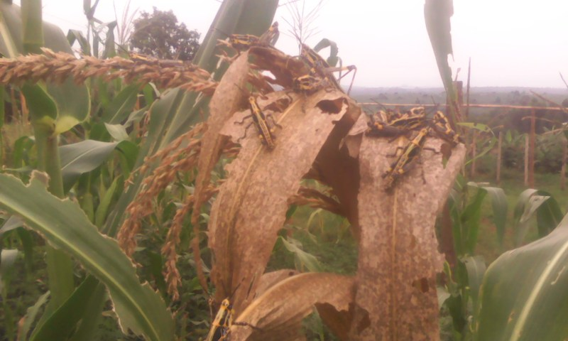 Farmers Worried As Strange Insects Attack Crops
