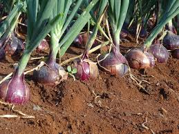 Farmers Guide With Mugenyi Joseph: Best Tips On Growing Onions