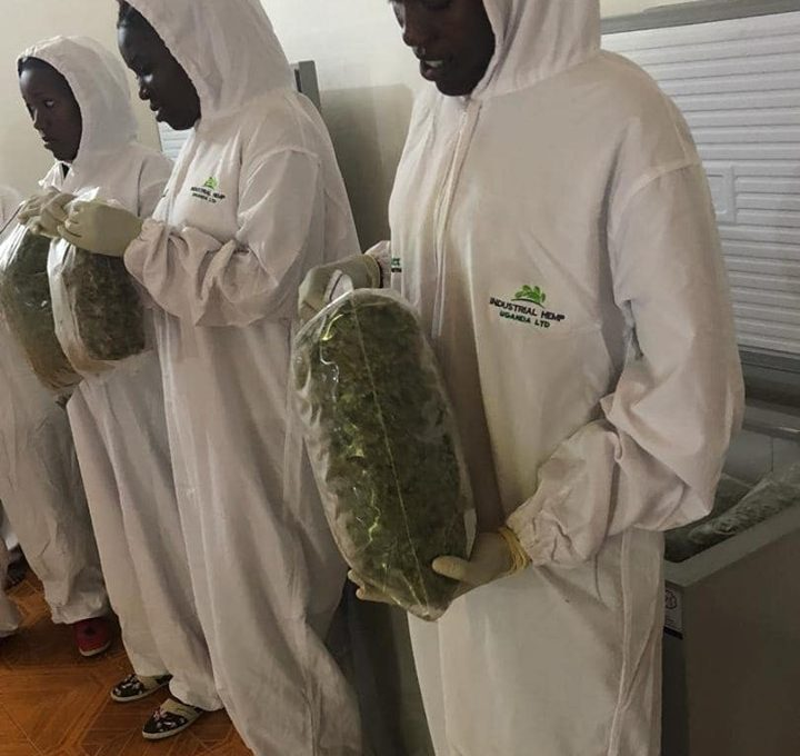 Marijuana grown in Uganda ready for export