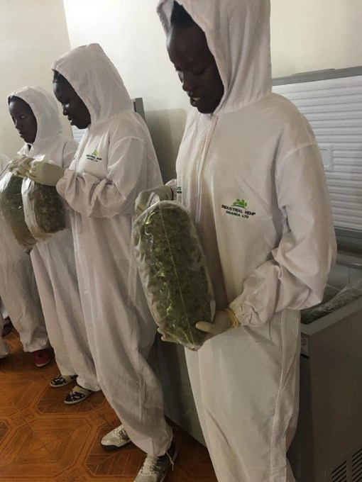 Workers show some of the harvested weed