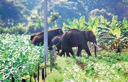Murchison Falls Elephants Raid District, Destroy Crops