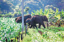 Murchison Falls Elephants Raid District, Destroy Crops