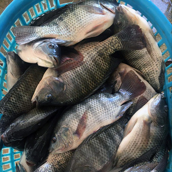 Farmers' Guide With Joseph Mugenyi: Tips On How To Feed Tilapia Fish