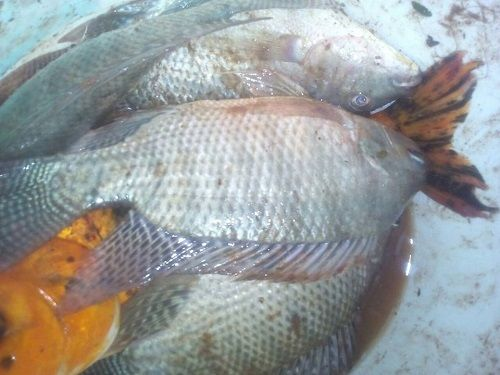 Farmers' Guide With Joseph Mugenyi: Tips On How To Farm Tilapia Fish In A Pond