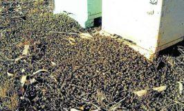 Chemical Warfare As GMO Plants Kill 37 Million Bees