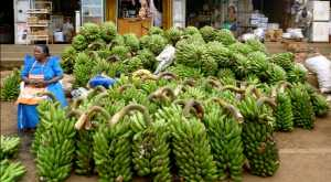 Farmers Frustrated Over Low Banana Prices Due To COVID-19,A Bunch Costs shs.1500