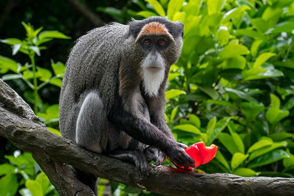 Uganda To Eat Big In Tourism As It Fronts Unique 'Golden Monkeys' As New Tourist Attraction