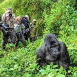 UWA Slashes Tariffs On Gorilla,Chimpanzee Tracking To Attract Tourists During Festive Season