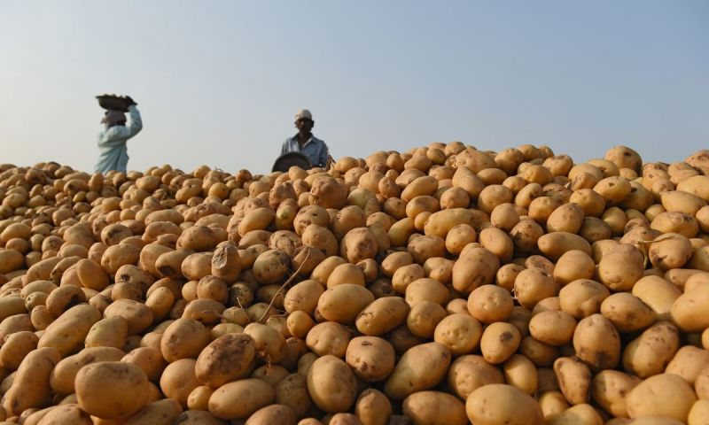 Wondering How To Curb Multiple Losses In Potato Farming? Practice The Following & Mint Millions