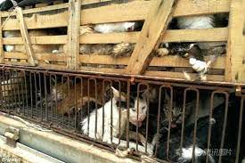 Horror! Chinese Man Caught In City With 500 Caged Cats Selling Them To Restaurants For Mchomo