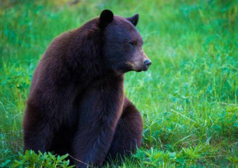 https://i2.wp.com/www.squamishreporter.com/wp-content/uploads/2020/05/bear-attack.jpg?fit=479%2C339&ssl=1