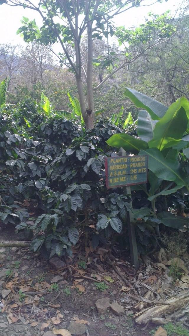 Ethiosar (Ricardo) variety