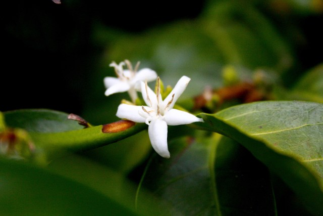 Leoncio flower