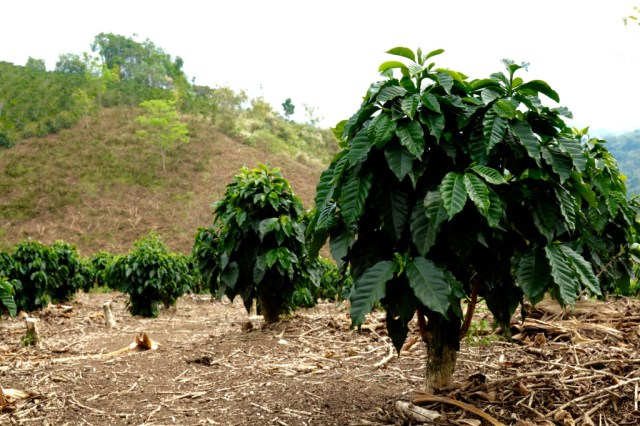 Coffee shrubs!