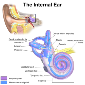 Ear Anatomy Internal Ear