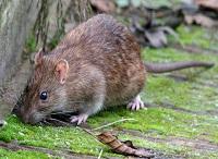 Rata comúna