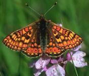 Euphydryas_aurinia