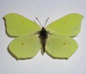 Gonepteryx_rhamni