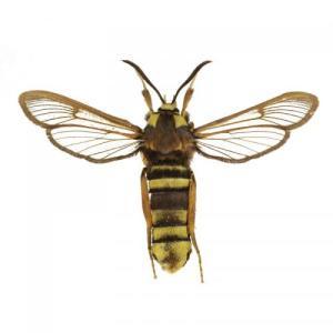 sesia-apiformis-sqvnatura