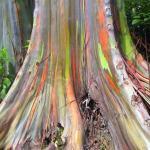 Eukaliptus duginih boja