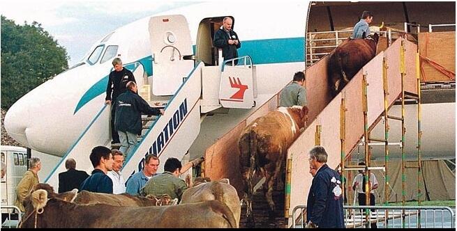 Stado od 390 krava prizemljilo zrakoplov