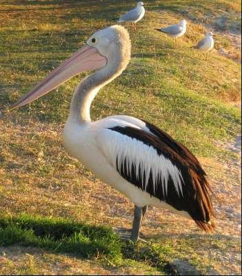 Bez pelikana molim: Stigla rješenja Biologije