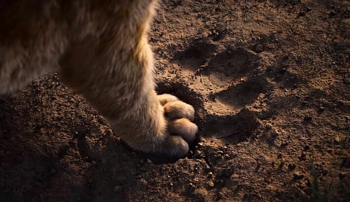 Stiže novi 'Kralj lavova': Prvi trailer nas je totalno raznježio i vratio u djetinjstvo