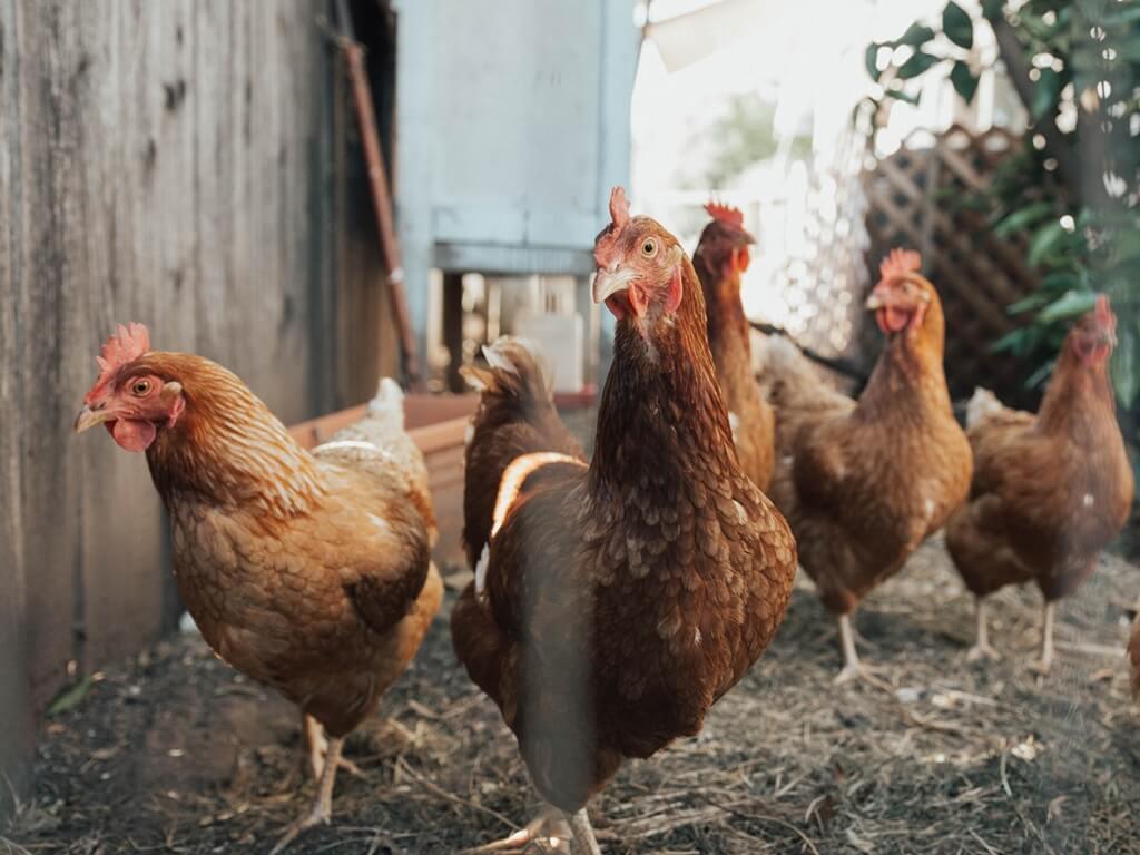 [Zadatak dana] Znate li odgovoriti na pitanje o kokošima s B razine Hrvatskog koje je nasmijalo maturante?