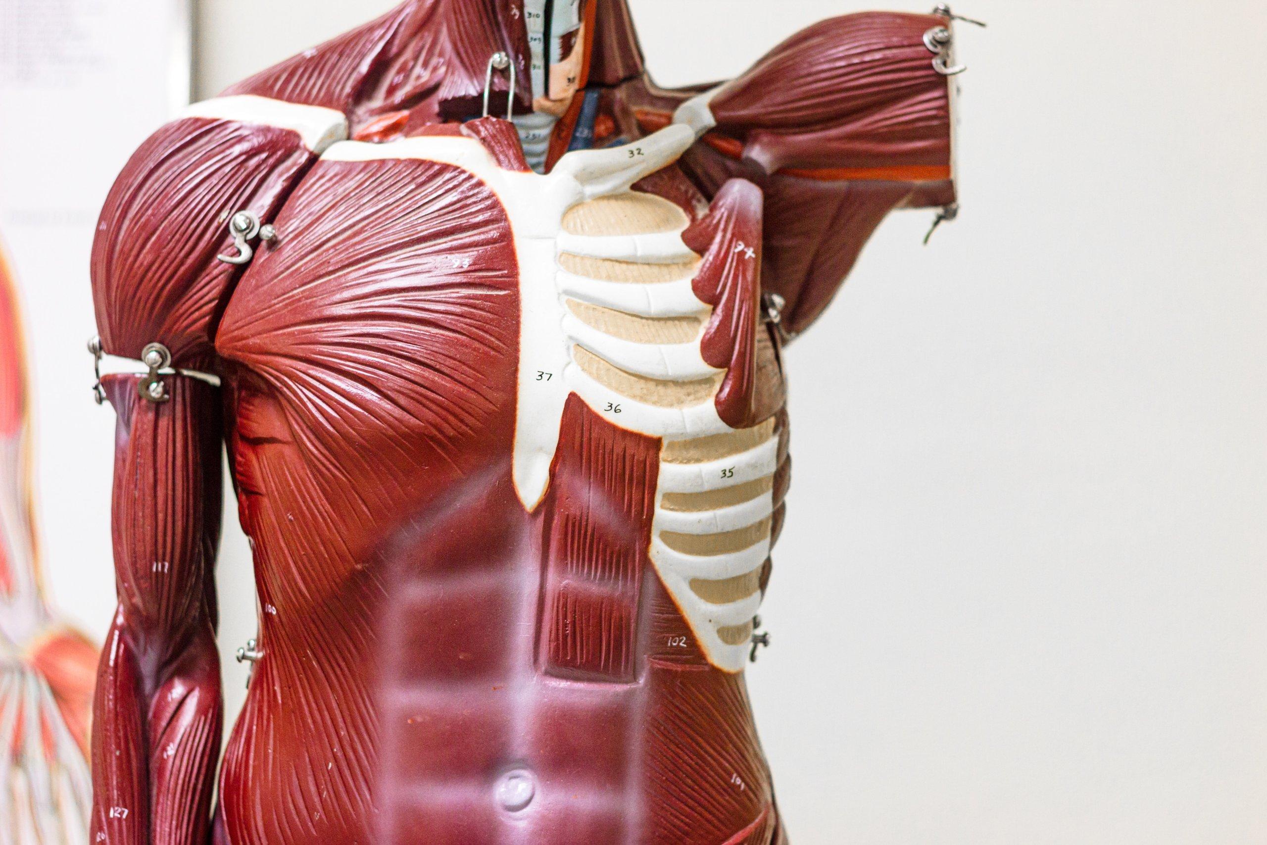 [Zadatak dana] Ovo se uči na Biologiji: Znate li koji je najveći mišić u ljudskom tijelu?