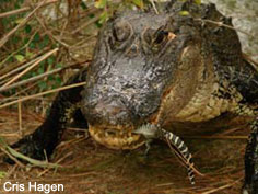 mother carrying hatchling in mouth