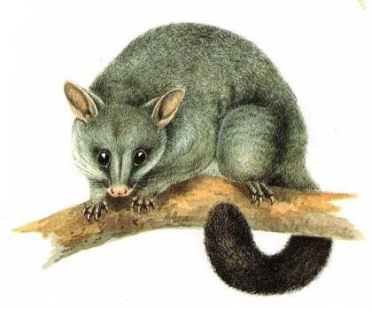 Possum or Were-Possum at SYDCON 2017?