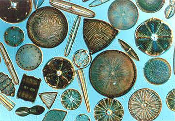 contoh Bacillariophyceae diatoms