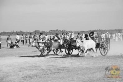 Bullock Cart Race Jaffna Sri Lanka