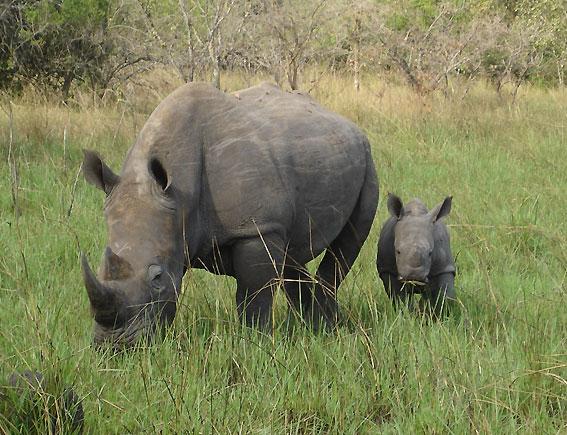 Rhinos Murchison Falls National Park, Uganda
