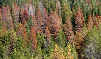 Economic Assessment of Mountain Pine Beetle Timber Salvage – CompassLive