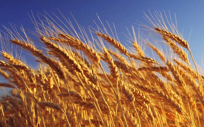 La cosecha de trigo finalizó en 17 M/tn, en una campaña marcada por la sequía