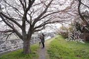 春休みのお散歩:桜も綺麗です